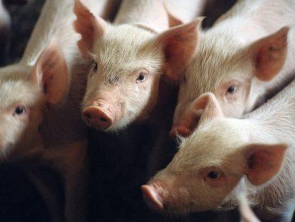 На предприятии «Мираторга» в Белгородской области обнаружили африканскую чуму свиней