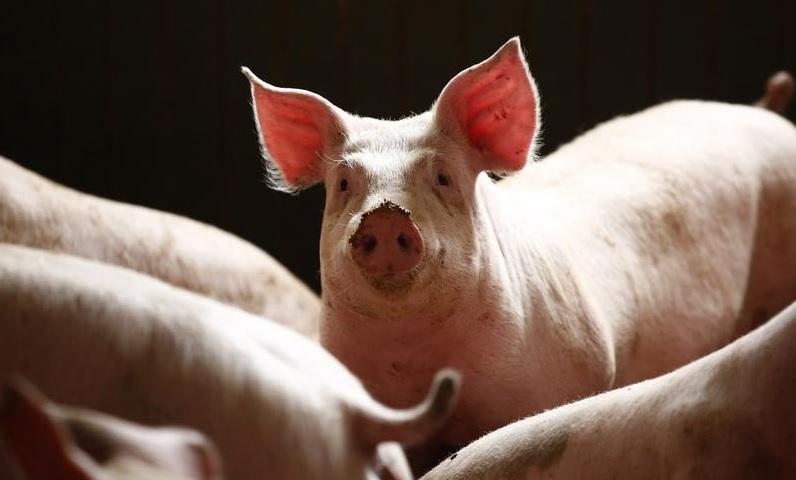 Свиные санкции: чем грозит России новый спор с ЕС в ВТО