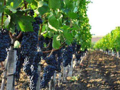 Beluga Group купит винодельческое хозяйство